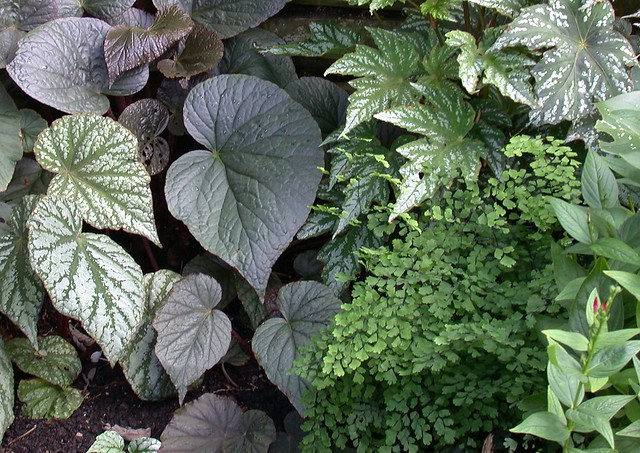 Begonias and ferns