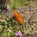Gulf Fritillary Butterfly In My Garden 2015 - 07