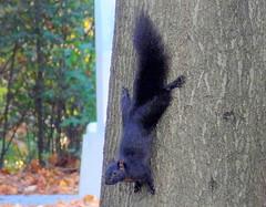 Black Squirrel Upside-down