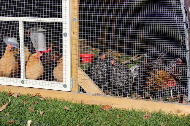 nosy pullets