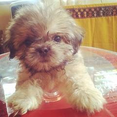Ya left and ya didn't sez bye□□ glad yar back□ gimme hugs ~ Caramel the #PomShih #cute #puppy #dogworld #dogsofinstagram
