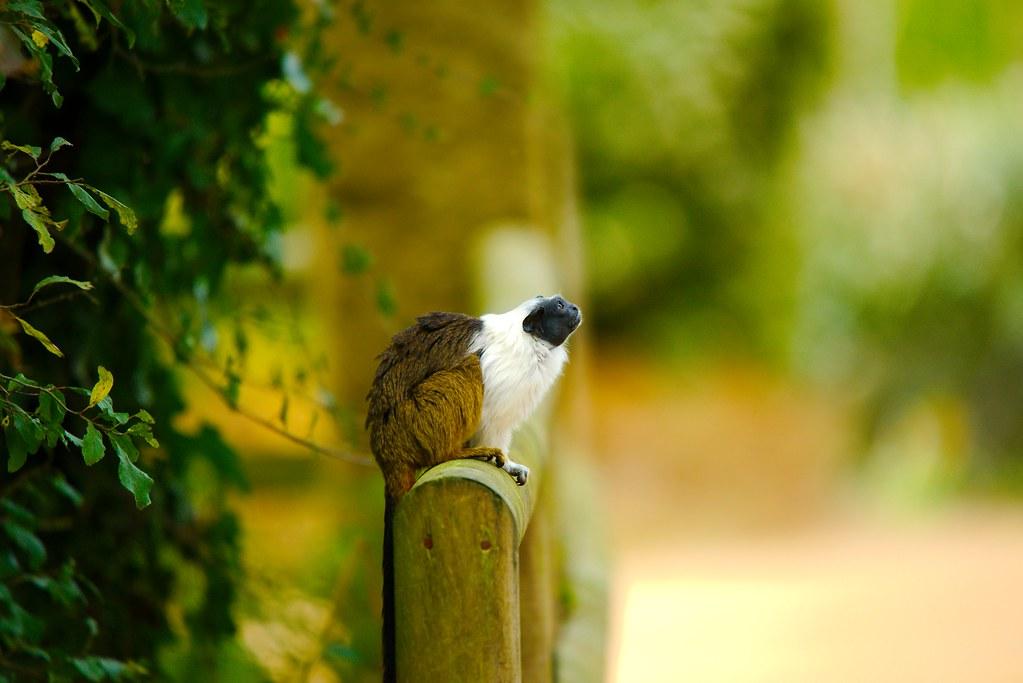 Pied Tamarin (Saguinus bicolor)_41