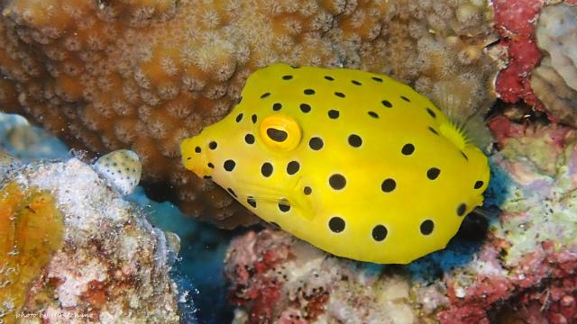 今度は黄色いミナミハコフグ幼魚♪