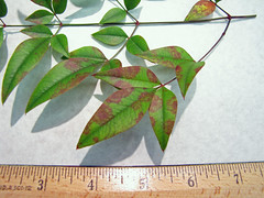 Leaf spots caused by Pseudocercospora nandinae on heavenly bamboo (Nandina sp.) in Hawaii