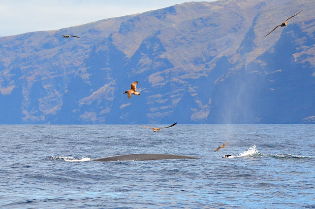 Bryde's Whale, Los Gigantes, Tenerife