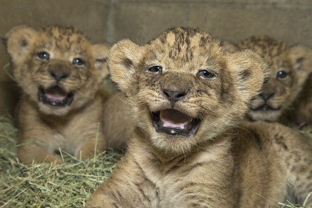 Lion Laughs