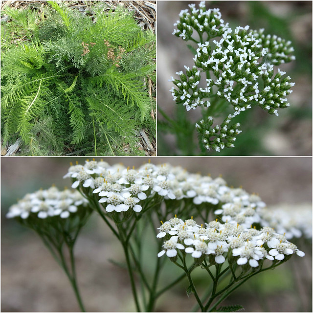 yarrow leaves, buds, and flowers