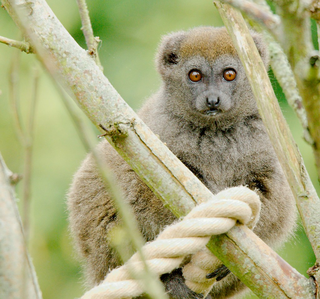 Alaotran gentle lemur (Hapalemur alaotrensis)_4