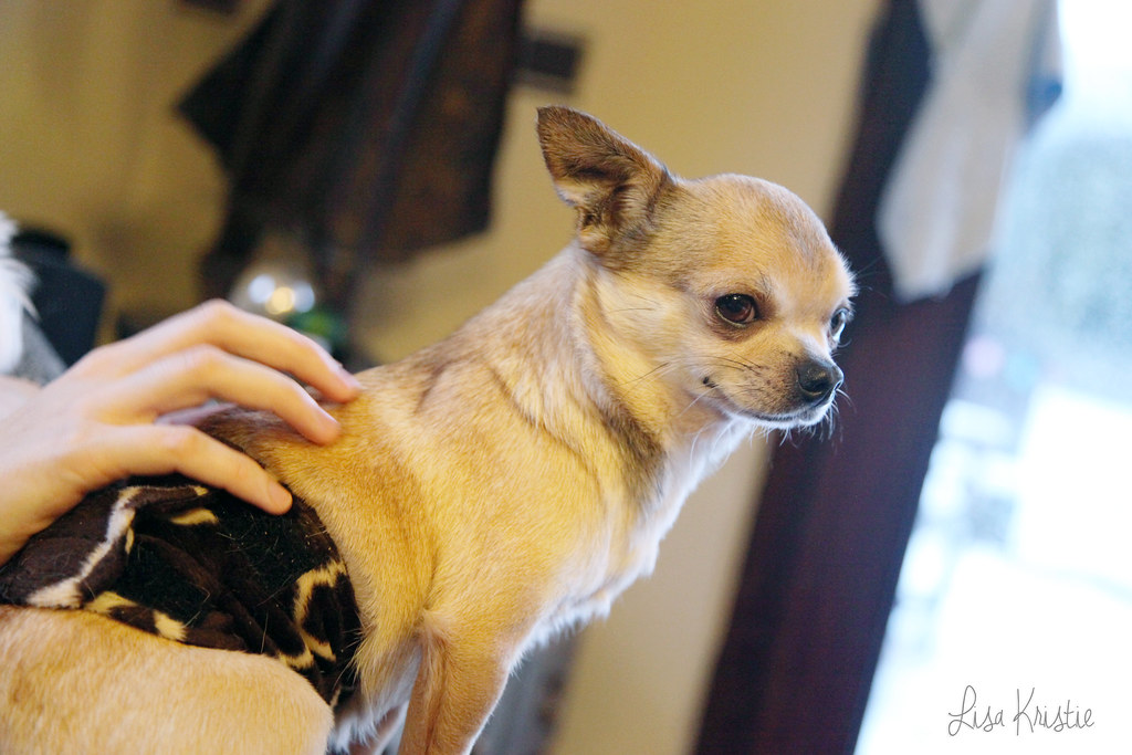 visit at the chihuahua breeder dogs puppies available for sale cute adorable tiny small