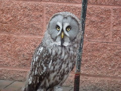 falcon(0.0), animal(1.0), bird of prey(1.0), owl(1.0), wing(1.0), fauna(1.0), beak(1.0), great grey owl(1.0), bird(1.0), wildlife(1.0),