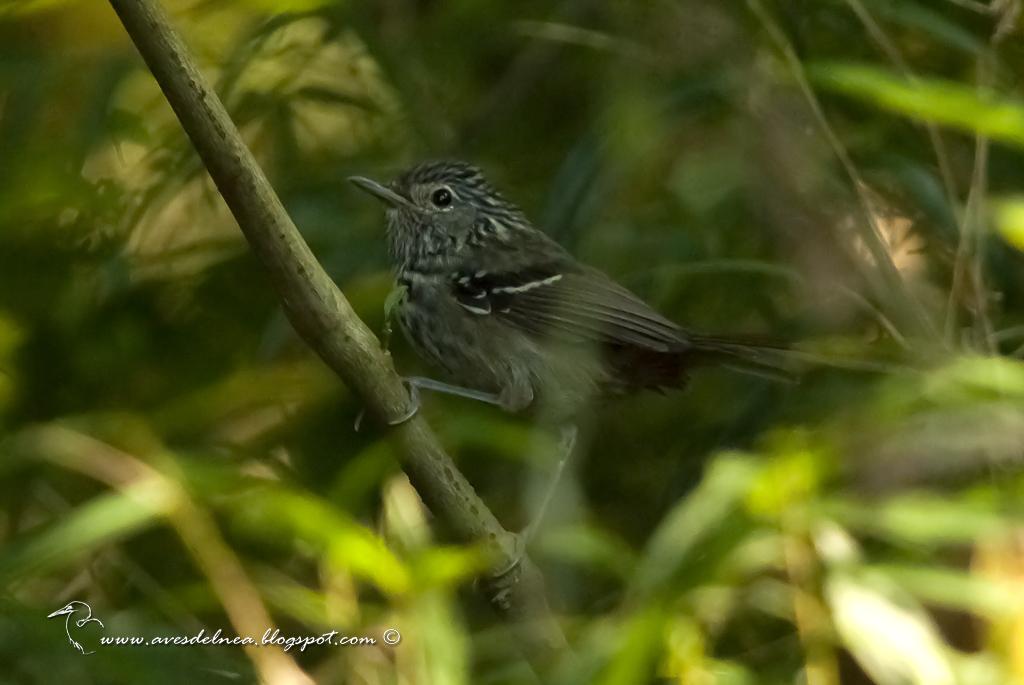 Tiluchi estriado (Dusky-tailed Antbird) Drymophila malura