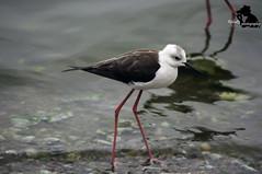 stork(0.0), sandpiper(0.0), animal(1.0), charadriiformes(1.0), fauna(1.0), ciconiiformes(1.0), stilt(1.0), shorebird(1.0), beak(1.0), bird(1.0), wildlife(1.0),