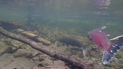 Coho Spawning on the Salmon River
