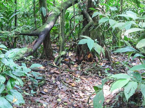 Parc National Arenal: qui a vu le pizote (comme à Tikal au Guatemala) ?