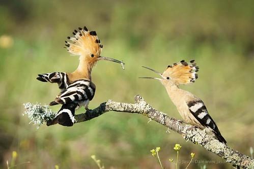 Hoopoe feeding time - shot at Calera in Spain #hoopoe #birds #birdsofinstagram #birdstagram #birdphotography #nature #natureslens #naturephotography #wildlife #wildlifephotography #birdsinflight #birdsofafeather #calera #spain #sonyimages #sonya77ii #igbi