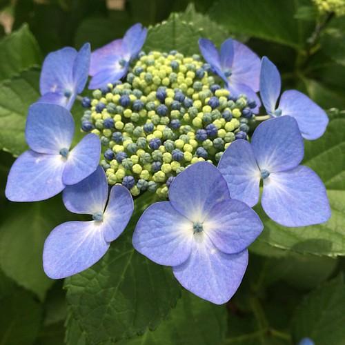 紫陽花 #hydrangea. #flower