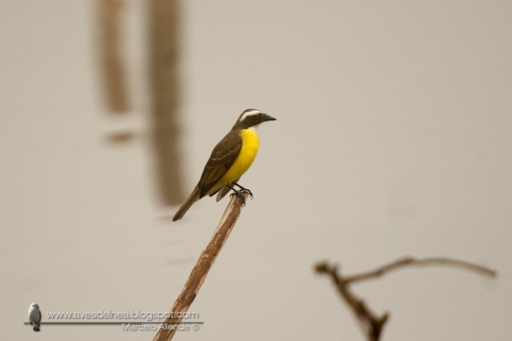 SMA_Benteveo mediano (Vermilion-crowned Flycatcher) Myiozetetes similis4982small