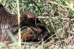 animal, grass, mammal, fauna, beaver, wildlife,