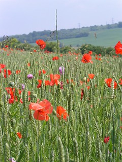 Poppies in cornfield