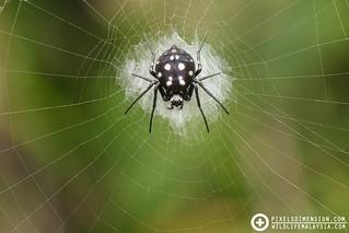 Silver-Spotted Sun Spider- Neogea nocticolor ♀