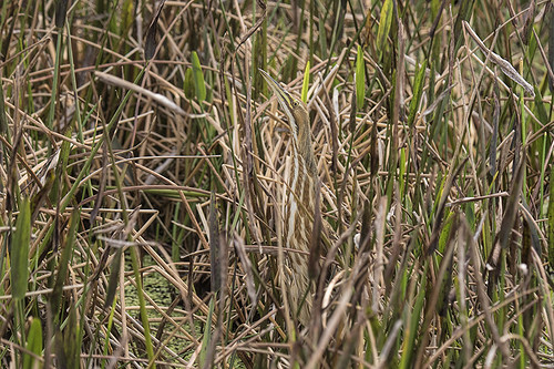 Florida: American Bittern in Plain Sight (yeah)