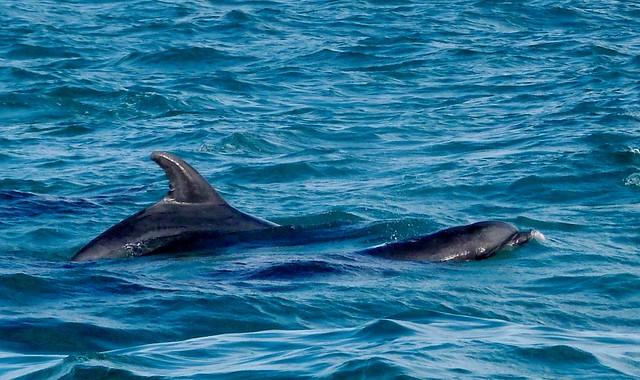 Avistamiento de delfines en el estuario del río Sado (Tróia, Alentejo, Portugal)