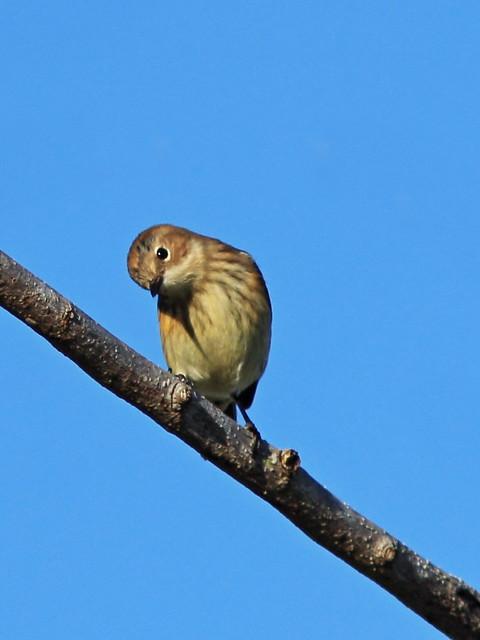 Yellow-rumped Warbler 2-20141130
