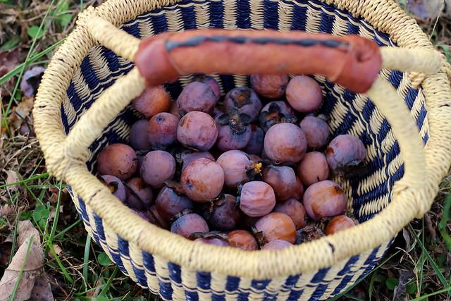 Persimmon Harvest 4