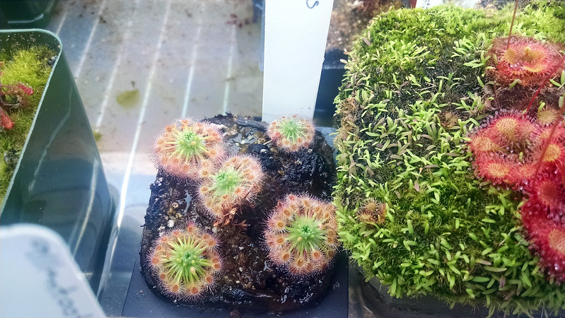 Drosera helodes starting to form gemmae.