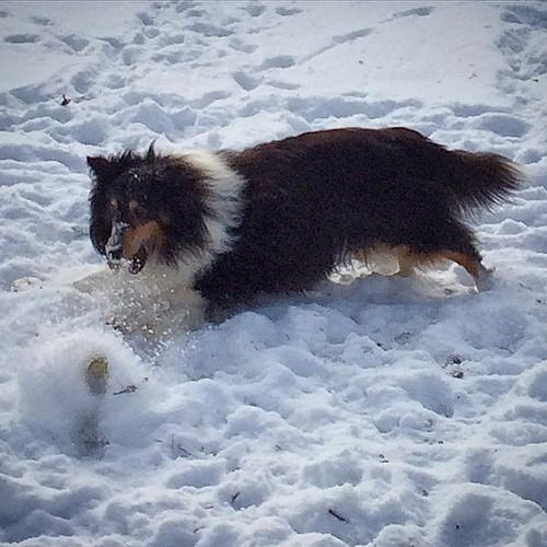 Gotta get the ball #jasper #Sheltie