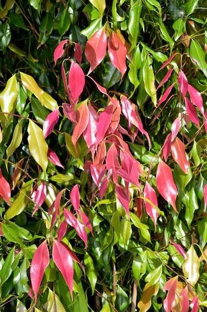 Syzygium unipunctatum DSC_0299 (5)
