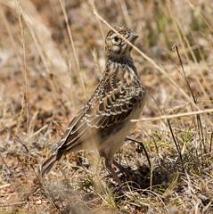 animal, prairie, sparrow, ortolan bunting, fauna, beak, bird, lark, wildlife,