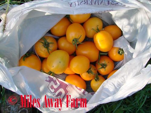 Valencia Heirloom Tomato