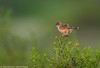 Rusty Rumped Warbler