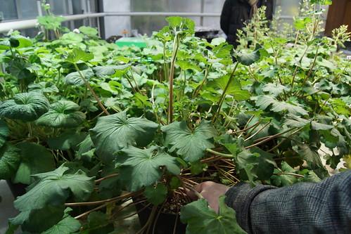 Pelargonium drummondii