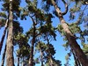 Maritime pines (Pinus pinaster) Hagley Park.