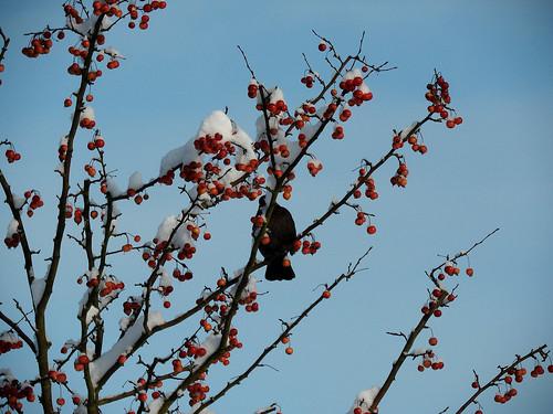 Amsel im Baum mit roten Früchten, Winter