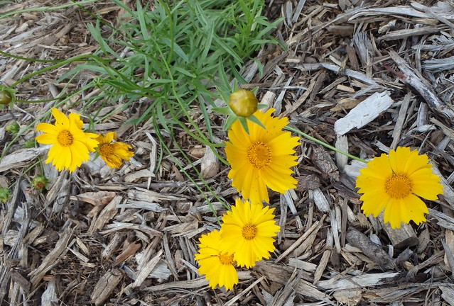 six coreopsis flowers and several buds