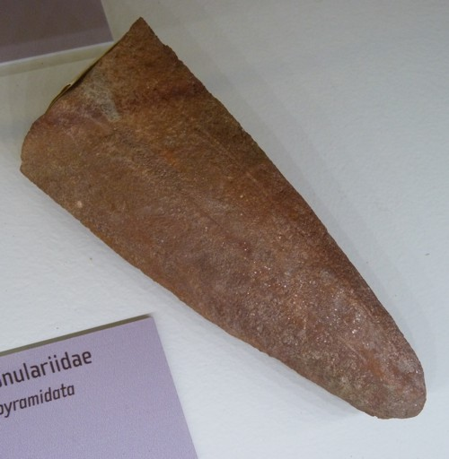 Exoconularia pyramidata 26466312174_49cfb4173c_o
