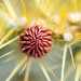 Cactus Bud by Tony P Iwane