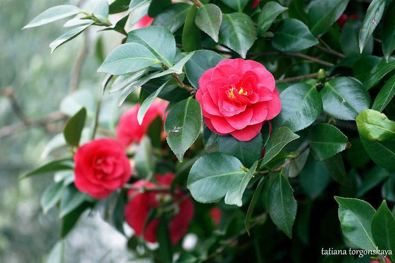 Цветущая розовая камелия