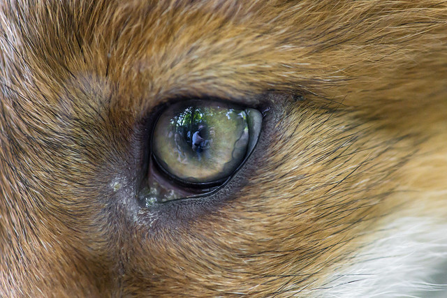 The eye of the fox