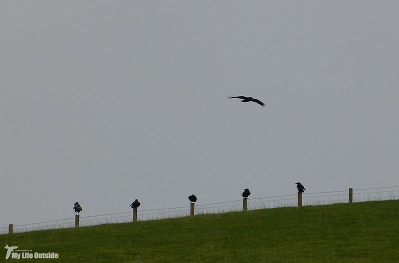 P1100507 - Local Ravens
