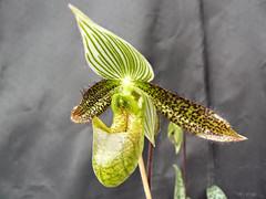 Paphiopedilum wardii par Irène
