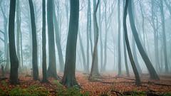 Beech Mist 2