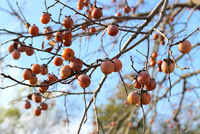 Persimmon Harvest 1