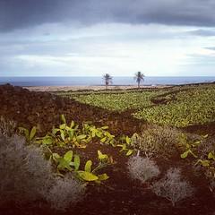 Hermanas arecáceas en un horizonte agrícola, en un espacio cultural, en una isla infinita #Lanzarote #tienesquevenir  #latitudDeVida #Canarias #canaryislands #Canariasgram #paisaje #agricultura #Lanzaroteesagrícola #palmeras #phoenix #opuntia #patrimonio