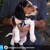 Mi muchachito ya está en un club :) #Repost @beagleclubbarquisimeto with @repostapp.・・・#PeteteVivas #nuevomiembro #beaglelovers #beaglebarquisimeto #beagleclubbarquisimeto