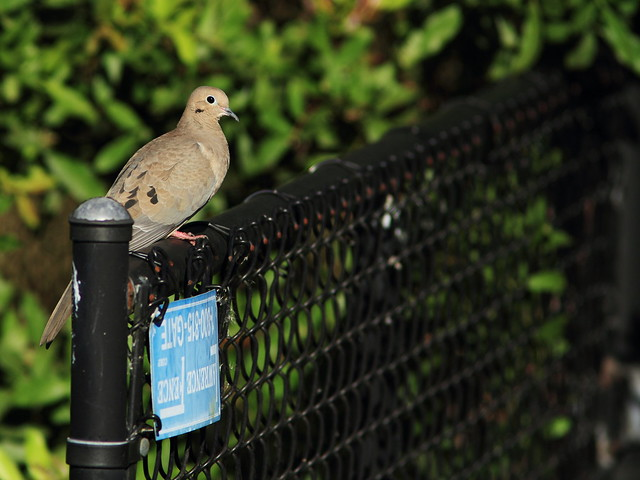 Mourning Dove on fence 20141215