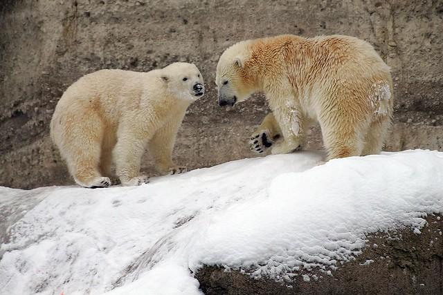 Eisbärzwillinge Nela und Nobby